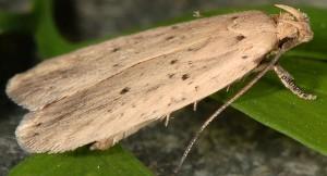 Agonopterix nodiflorella 34 3