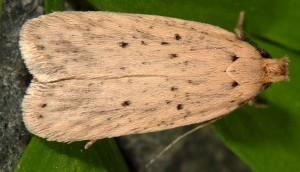 Agonopterix nodiflorella 34 4
