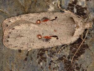 Agonopterix ocellana 06 2