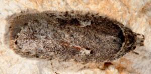 Agonopterix ocellana 06 4