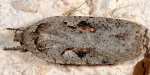 Agonopterix ocellana 06 5