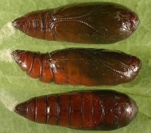 Agonopterix ocellana