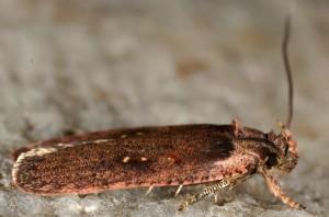 Agonopterix oinochroa