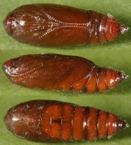 Agonopterix oinochroa chrysalide 66 1