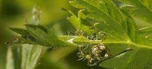 Agonopterix orophilella