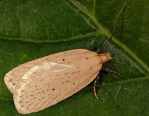 Agonopterix pallorella 06 3