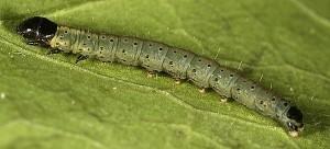 Agonopterix pallorella L4