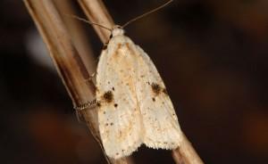Agonopterix petasitis 06 1