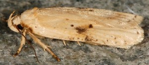 Agonopterix petasitis 06 3