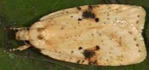 Agonopterix petasitis