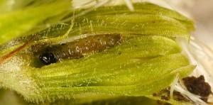Agonopterix petasitis L2