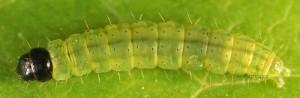 Agonopterix purpurea L5