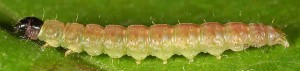 Agonopterix purpurea prénymphose