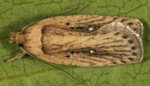 Agonopterix putridella