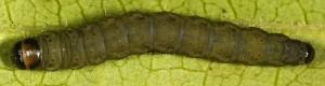 Agonopterix putridella L5