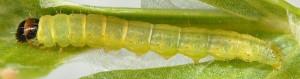 Agonopterix rotundella L5 06 1
