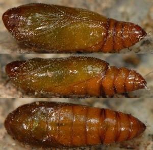 Agonopterix rotundella chrysalide 06 1