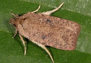 Agonopterix scopariella 06 3