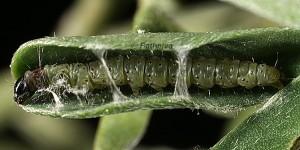 Agonopterix scopariella L3 3