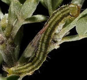 Agonopterix scopariella L5 1