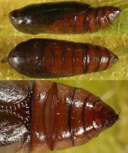 Agonopterix scopariella
