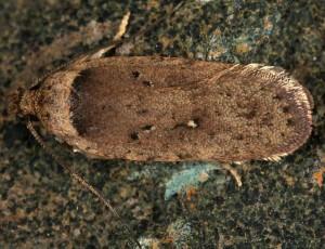 Agonopterix senecionis