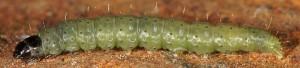 Agonopterix senecionis L5