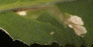 Agonopterix senecionis mine