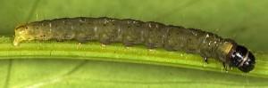 Agonopterix silerella