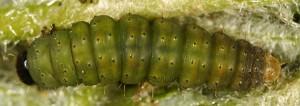 Agonopterix thapsiella