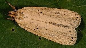 Agonopterix umbellana
