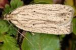 Agonopterix umbellana 06 2