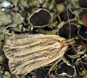 Agonopterix umbellana 06 5