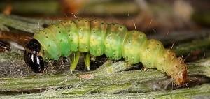 Agonopterix umbellana Prénymphose