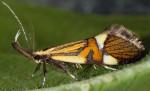 Alabonia geoffrella (I)