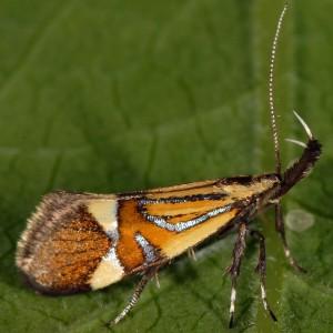 Alabonia geoffrella 2