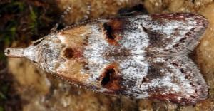 Anchinia laureolella 2
