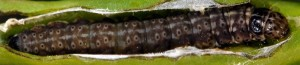 Anchinia laureolella L5 1
