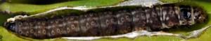 Anchinia laureolella L5 2