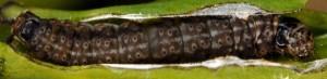 Anchinia laureolella L5 3