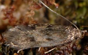 Borkhausenia fuscescens 4