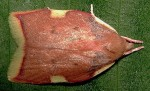 Carcina quercana 06 1