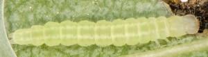 Carcina quercana L3 06 1