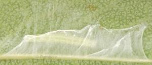 Carcina quercana L3 06 3