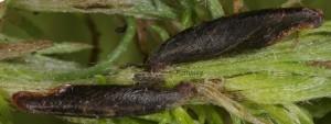 Coleophora ditella
