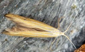 Coleophora nepetellae 06 3