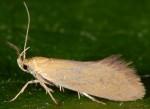 Crassa tinctella (I)