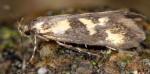 Denisia fuscicapitella (I)