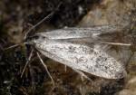 Denisia nubilosella (I)