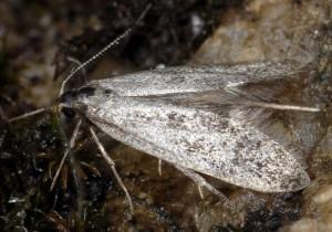 Denisia nubilosella 1